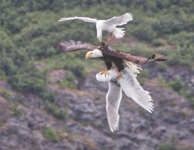 Flying ang preying Bolded Eagle caught seagull for food