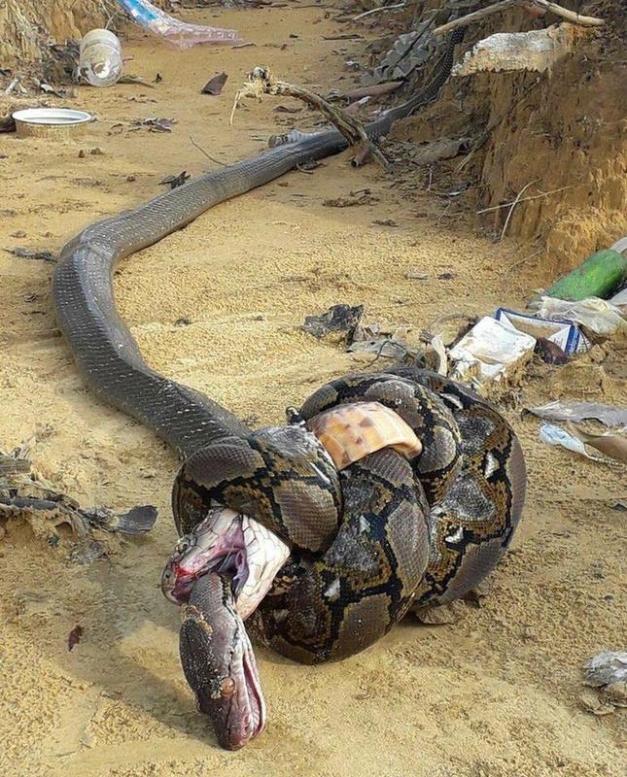 Pathon ripped alligator